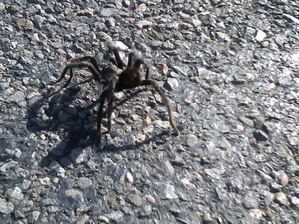 Tarantula season where I live